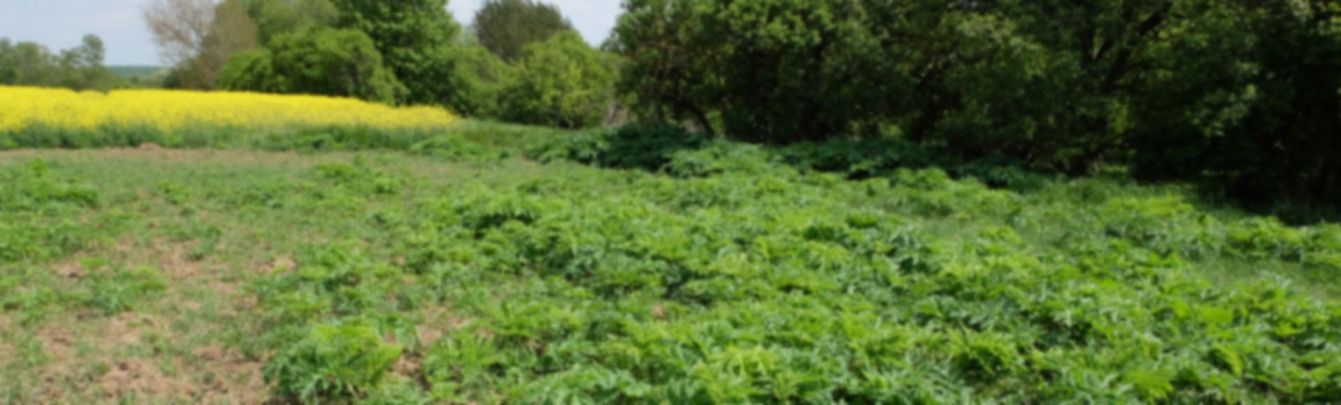 Erfassung und Management invasiver Neophyten auf landwirtschaftlichen Nutzflächen zur Sicherung der landwirtschaftlichen Produktionsbedingungen.